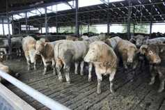 Cattle trade holding steady on 354p/kg base