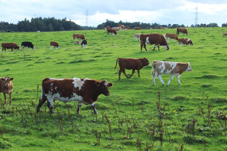 Cow efficiency is measured on farm partly as the percentage of calf weight  weaned at 200 days relative to mature cow weight.
