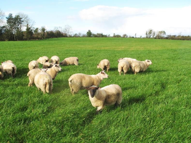 Pressure on factory prices is also having a negative effect on store lamb prices.