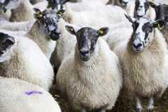 Sheep trends: bright aspects hard to find