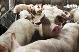Focus on pig nutrition at annual conference