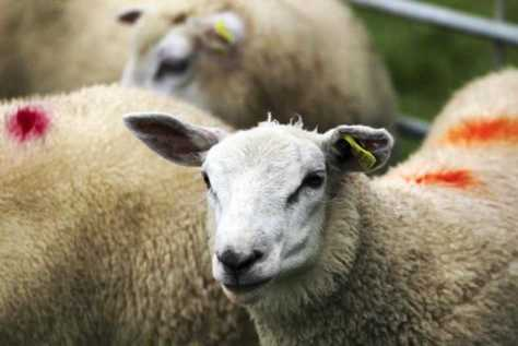 Sheep prices: more price pressure on the trade
