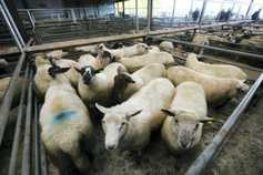 Sheep prices: pressure continues at marts