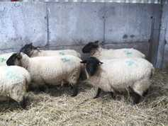 Sheep management: scanning early lambers and ram management
