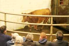 In pictures: in-calf heifers make up to €1,800 in Balla Mart