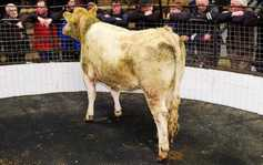 Charolais and Limousin cattle firm but dairy-cross demand eases