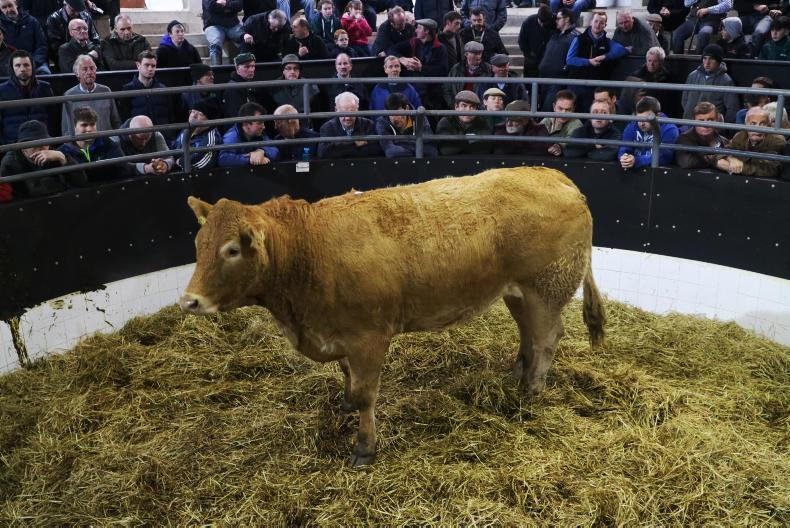 This Limousin heifer, born 18/3/15 and weighing 680kg, is due to calve on 26 March to EBY. She weighed 680kg and sold for €2,120.