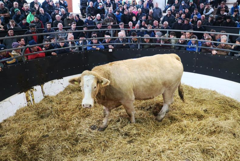 This Charolais cross heifer weighing 820kg and born 18/2/15 is due to calve 16 December to GWO. She sold for €2,500.