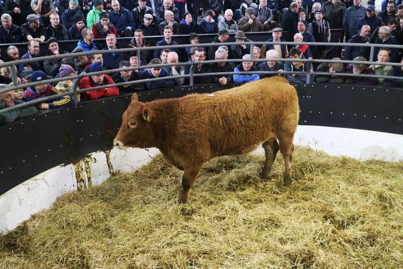 This red Limousin was one of the younger heifers on show born 1/5/15. She weighed 675kg and was due 29 December to an AI Limousin sire and sold for €1,720.