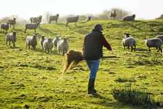 €16m in sheep payments issue to farmers