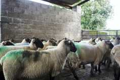 Sheep management: tackling the threat of fluke