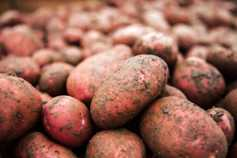 'Potatoes are rotting in the field'