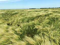 Wheat prices forecast to rise in 2018 – Rabobank