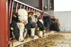 Beef management: hitting weanling performance targets this winter
