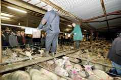 Factories forced to pay €5/kg for lamb
