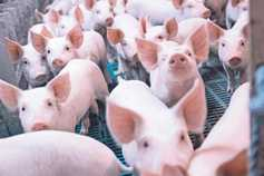 Pig prices reported to IFA week commencing 27/11/17