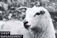 Sheep management: mid-pregnancy feeding of ewes