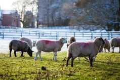 2017 Sheep and Goat Census forms posted