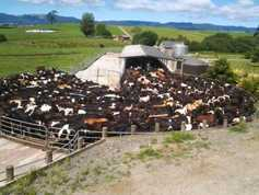 New Zealand milk production increases for November
