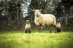 Sheep management: apply now for Sheep Welfare Scheme