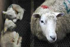 Sheep management: beware the biosecurity risks of fostering lambs