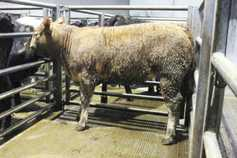 Brisk trade for forward cattle at Markethill