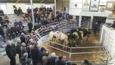 In pictures: cow prices to the fore at Bandon Mart