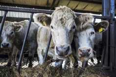 Slurry gas kills eight cattle in Roscommon