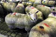 Improved demand for well-fleshed lambs and ewes