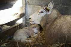 Sheep management: lambing preparation