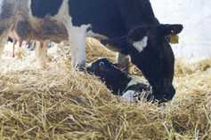 Monday management: 10 last minute calving checks