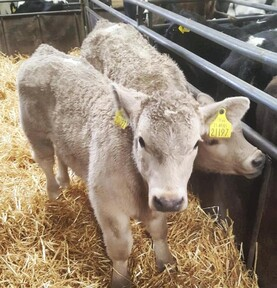 In pictures: Charolais-cross calves make €450 in Bandon