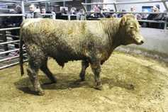 Prime cattle steady but cow prices rising