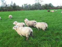 Premium needed if factories want more wether lamb