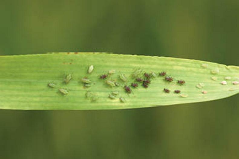 A metabolic resistance mechanism to pyrethroids in Irish grain aphids has recently been confirmed by Teagasc researchers.