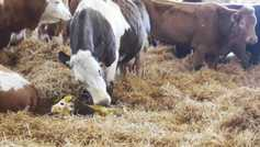 Farm Profit Programme: How many calves can you wean from 100 cows?