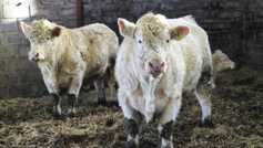 Farm technology: 'fitbits' for cattle and sheep