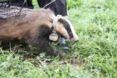 Watch: badgers may spread TB further than thought