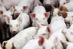 Pig prices must 'rise over coming weeks'