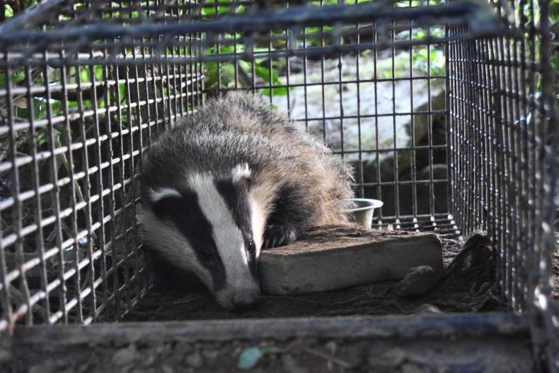 Badger captured by researchers for vaccination and identification. \ Trinity College Dublin