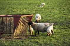 Separate dog attacks in Laois claim six sheep