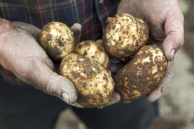 Up to 3,000 acres of potatoes still be harvested