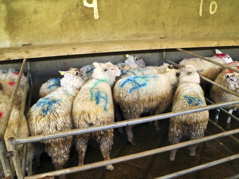 This pen of seven hoggets weighing 42kg on average sold for €107 each (€2.55/kg).