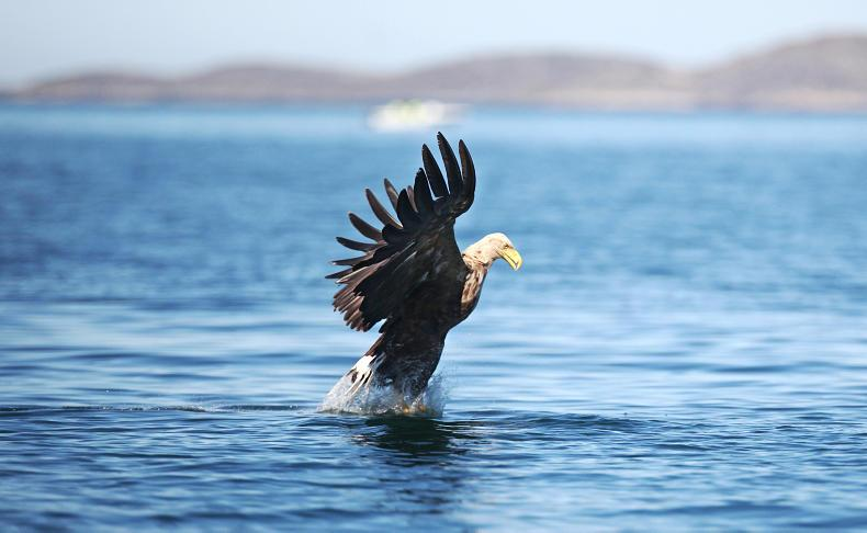 An adult white-tailed sea eagle searching for fish. \ Valerie O'Sullivan/Golden Eagle Trust