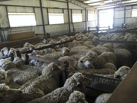 Great optimism in Australian sheep production