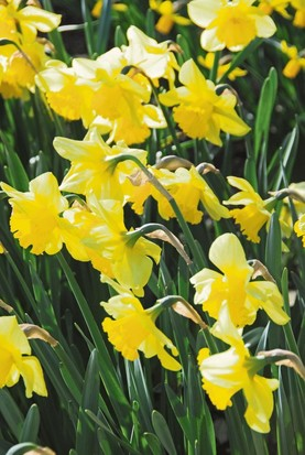 Gardenig: Daffodils in difficulty