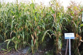 Two new maize varieties again for 2018