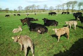 Cows and calves out to grass in Newford Farm