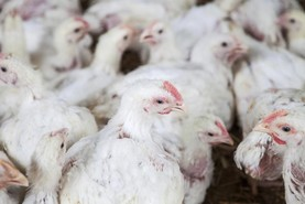 Brazilian poultry plants suspended from exporting to the EU