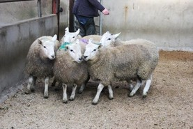 Hogget trade remains buoyant in NI